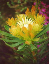 Fynbos, the vegatation that comprises the Cape Floral Kingdom is an unsurpassed natural wonder.